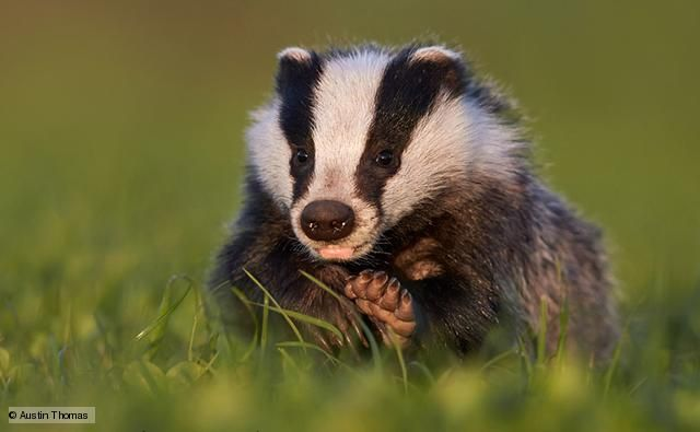Image result for european badger gif