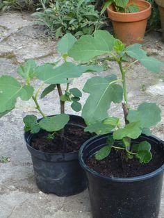 comment bouturer un figuier jardin potager planting. Black Bedroom Furniture Sets. Home Design Ideas
