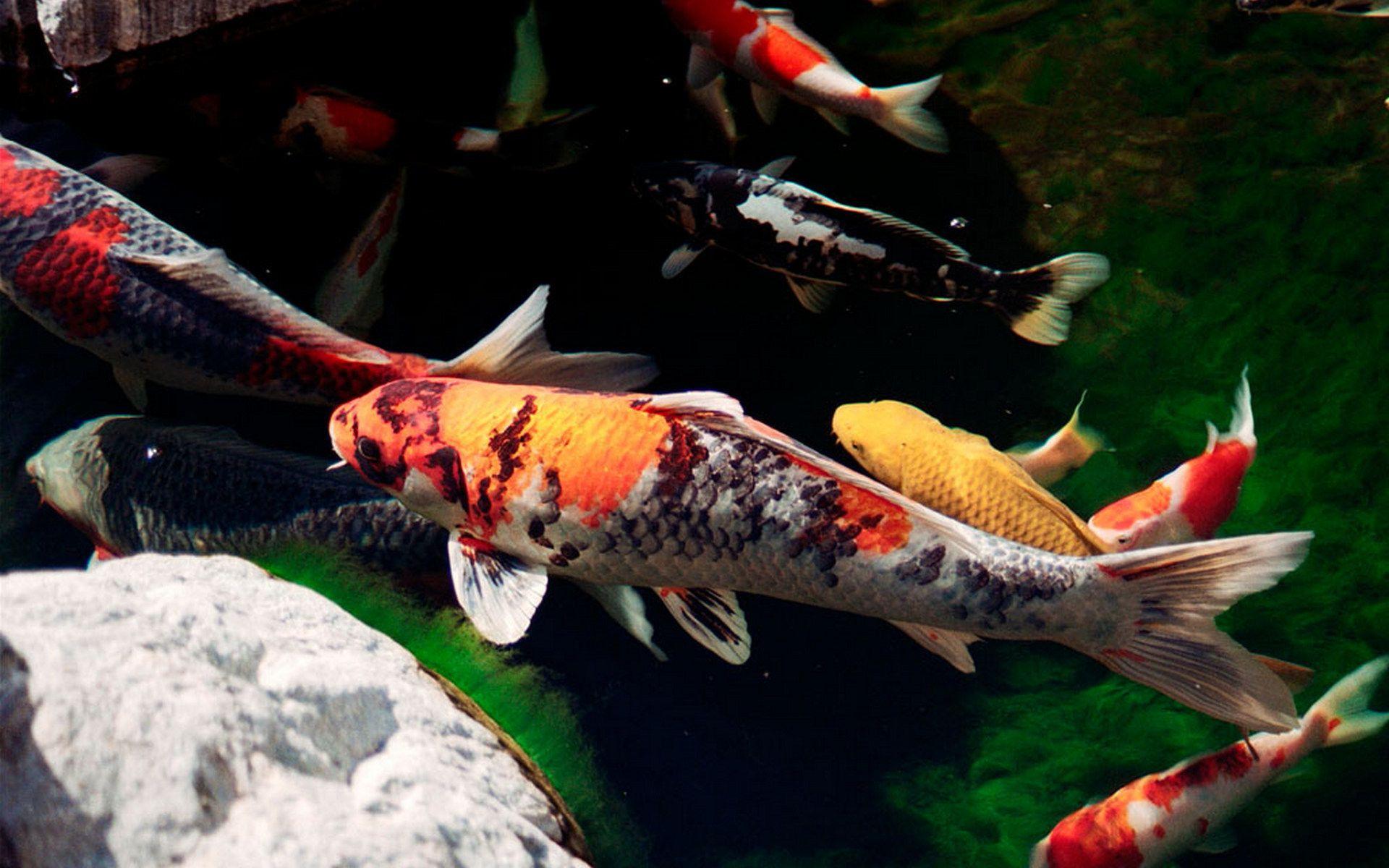 10 Animals That Outlive People Pouted Com Japanese Koi Koi Fish Koi