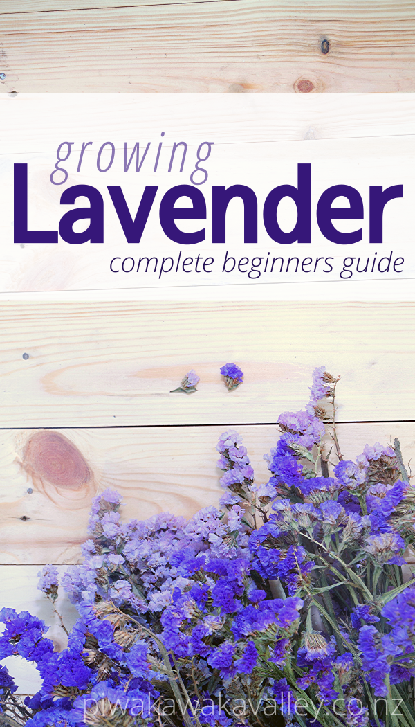 Photo of A Beginner's Guide To Growing Lavender in the Garden