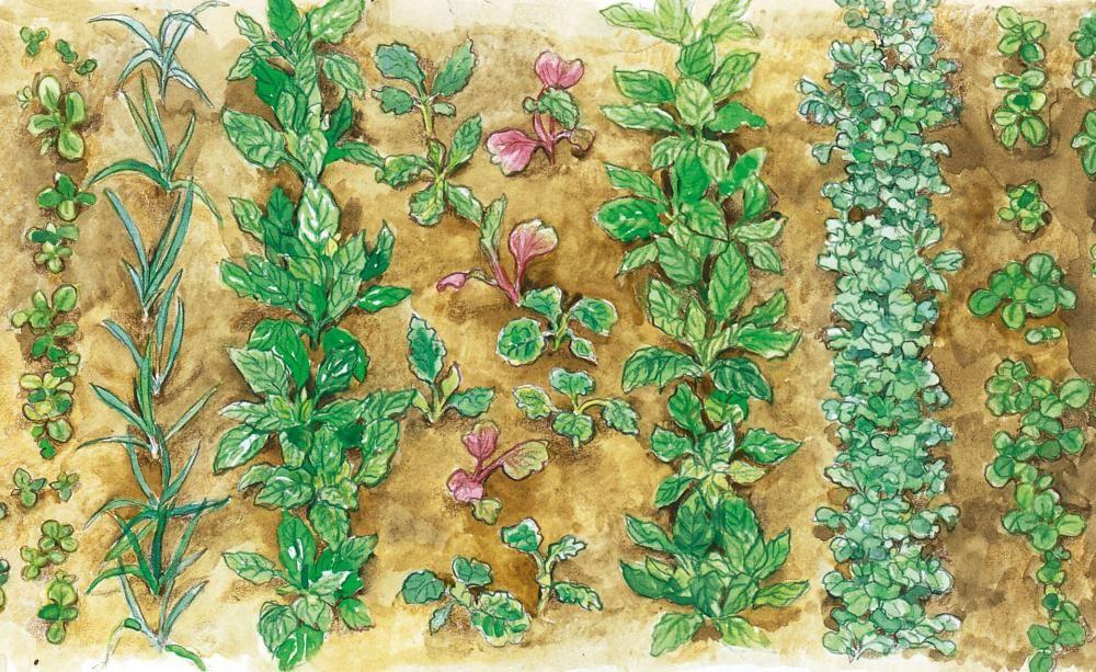 Gemuse Im Garten Ruben Pflanzen Pflege