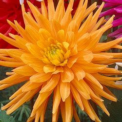 "Golden Crown Dahlia (6-8"" bloom; 3-4' bush): orange and yellow blends; semi-cactus."