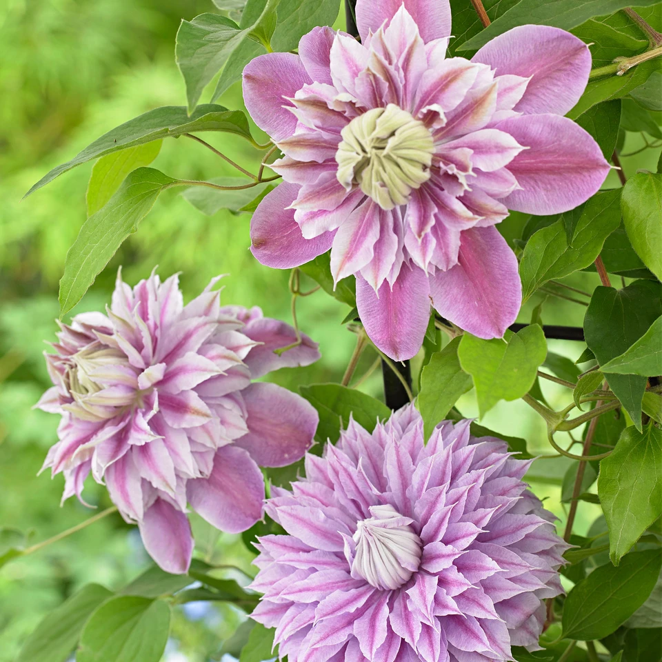 Kletterstrauch Clematis 2x Clematis 'josephine' Rosa In 2020 | Clematis, Rosa