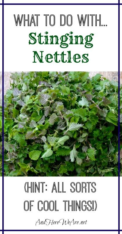 What to do with... Stinging Nettles from And Here We Are... Everything you need to know to take advantage of this awesome food, medicinal herb and beauty aid!