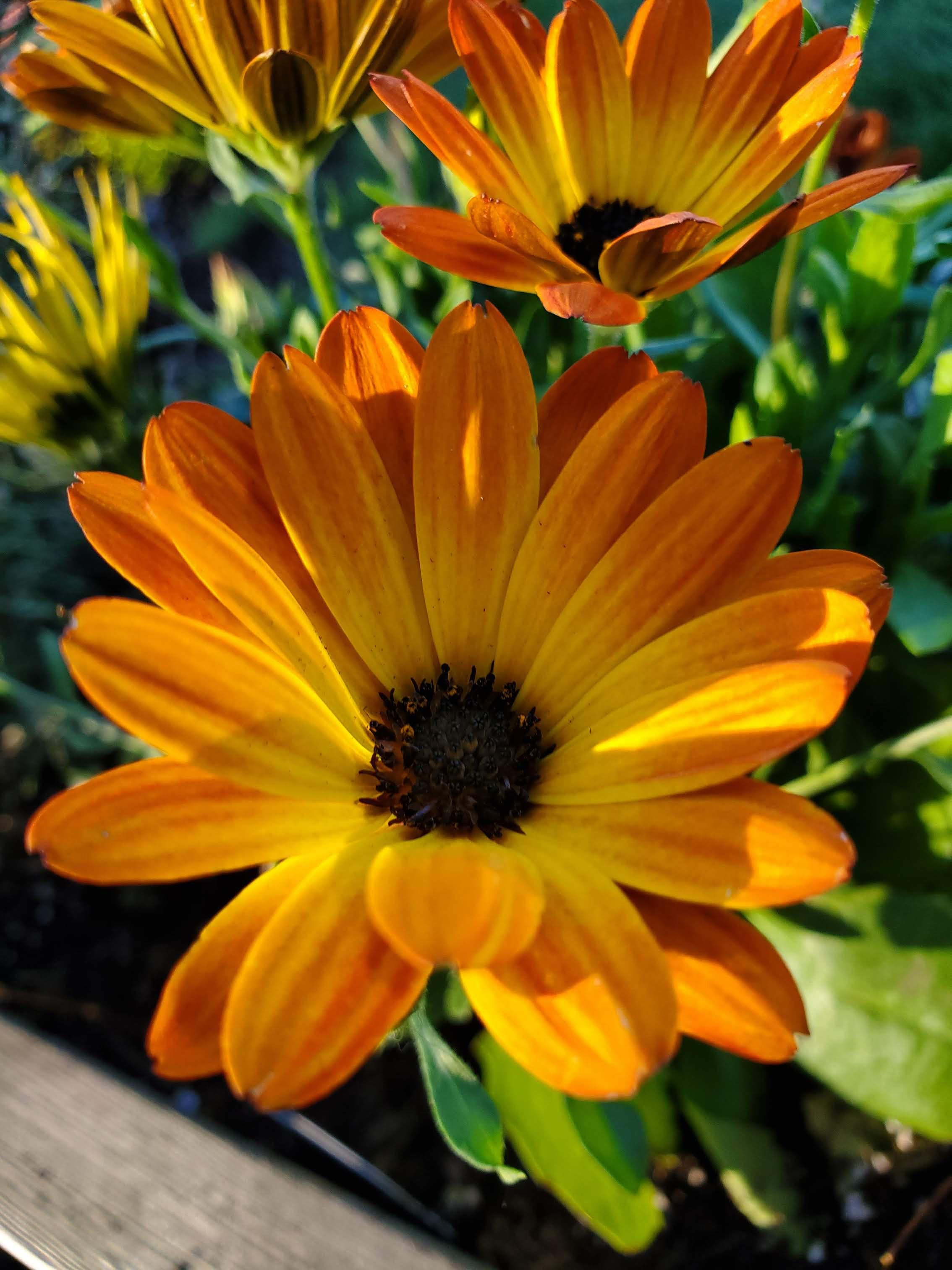 How about a little Margarita Orange Flare (osteospermum