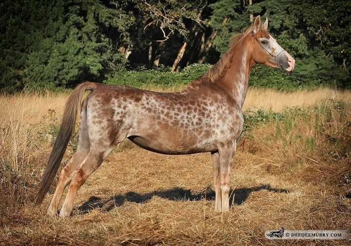 This a a wonderful example of reverse dappling on a Sadlebred mare named Wing's Sable Sky.  I found her on a blog by a very knowledgeable woman (Lesli Kathman).  Her blog is Equine Tapestry.