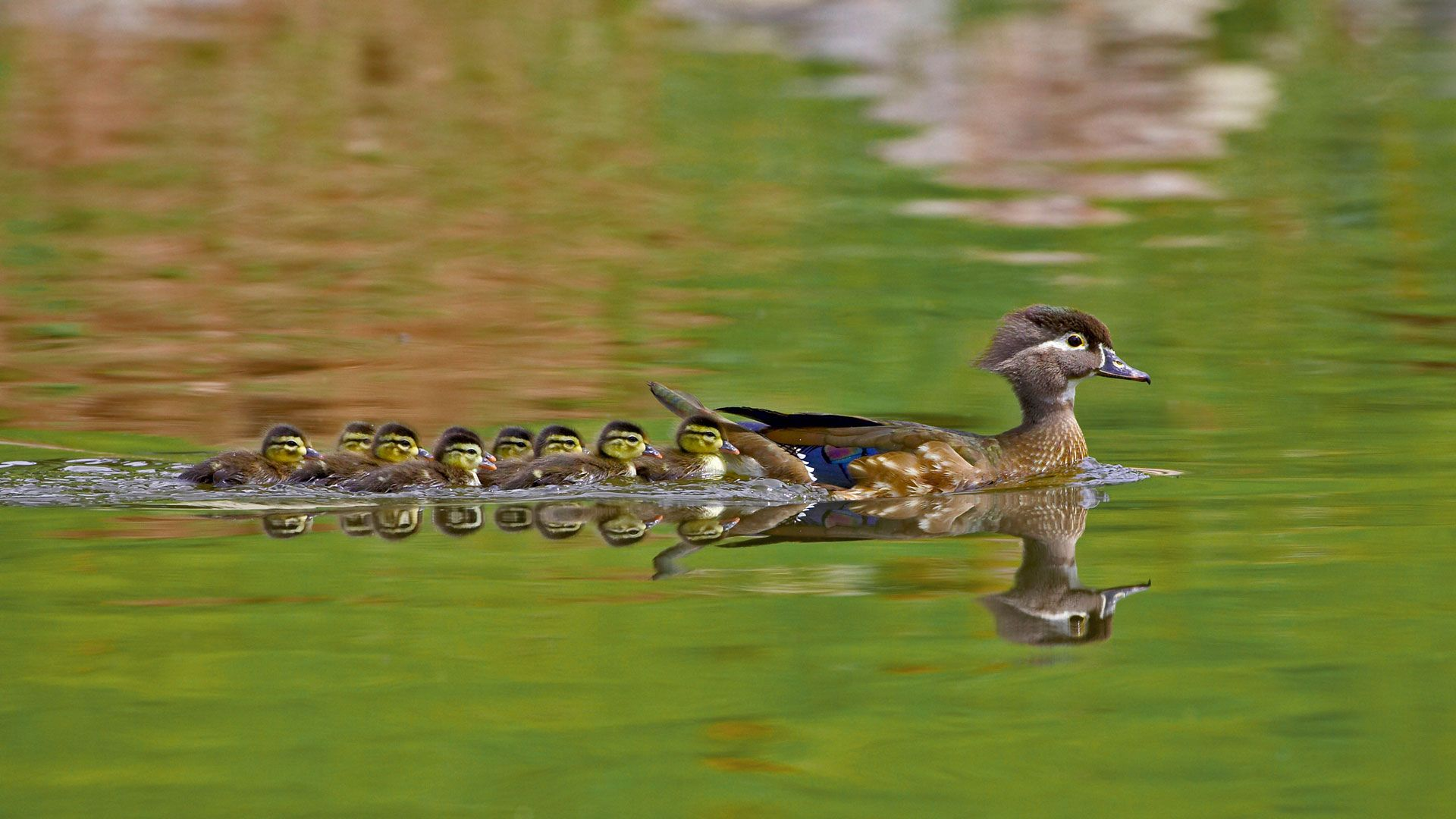 a female wood duck and ducklings in arapahoe county colorado