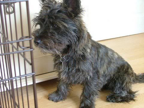 Pictures Of Cairn Terrier Puppies Google Search Yorkie Terrier