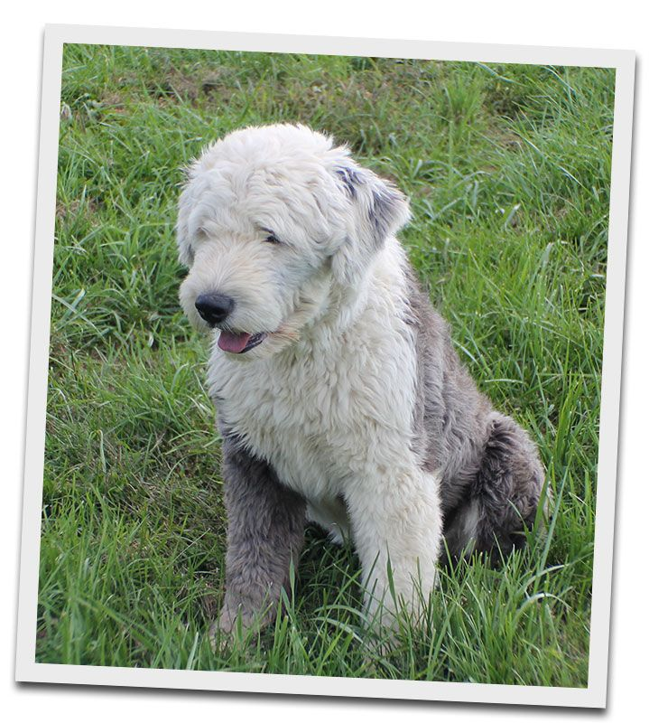 Reserve Your Sheepadoodle Puppy Now At Angel Breeze Puppies