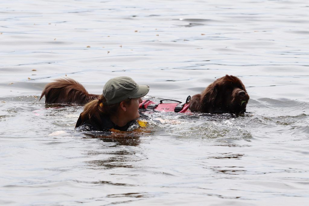 Why Do Newfoundland Dogs Wear Life Jackets While Water Training Newfoundland Dog Wear Dogs With Jobs