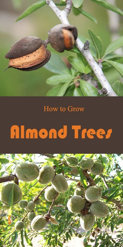 How To Grow Almond Trees Growing Fruit Trees Growing Fruit Almond Tree
