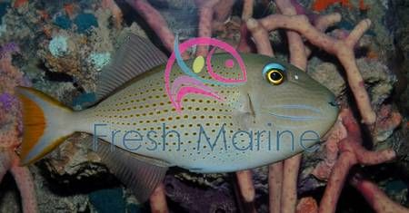 Blue Jaw Trigger Fish Female Xanthichthys Auromarginatus Bluechin Triggerfish Blue Throat Trigger Fish All Things Aquaria Fish Salt Water Fish Fe