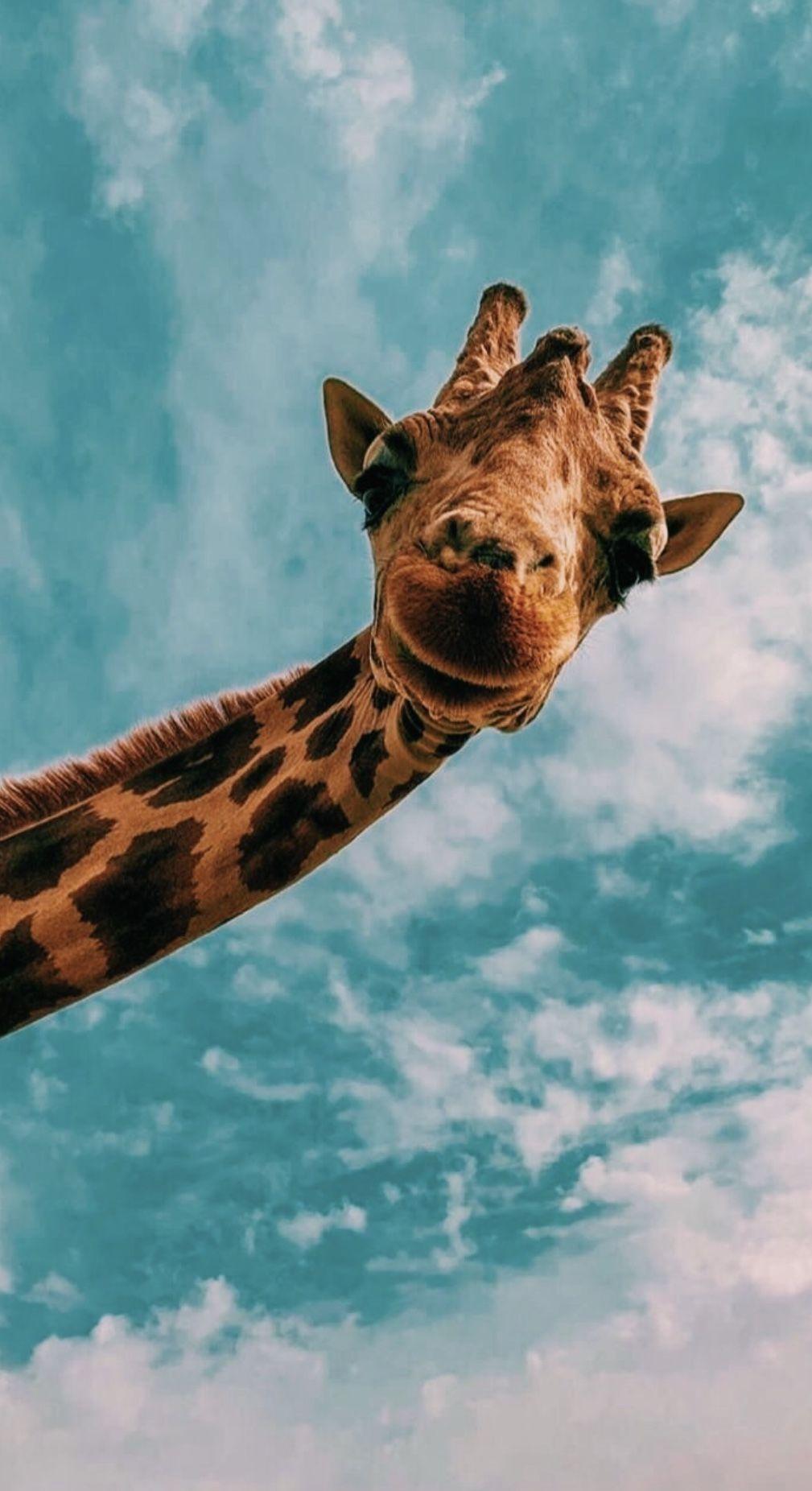 Vsco Chynamcghee Cute Animals Cute Giraffe Wallpaper Iphone Cute