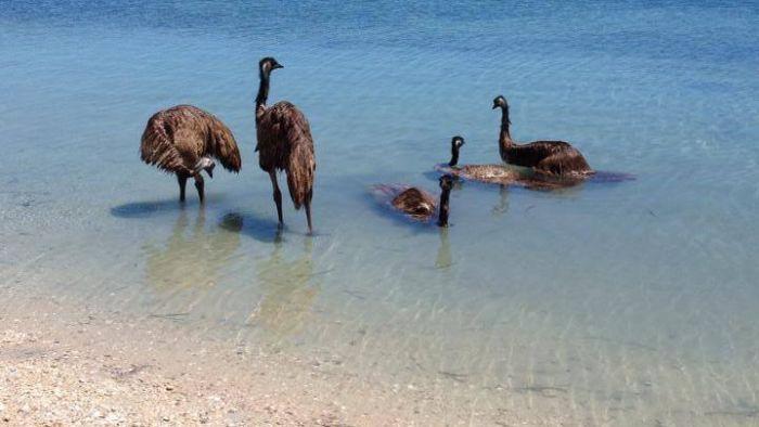 Emus take a dip at Monkey Mia (With images) | Australian fauna ...