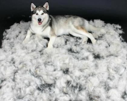 This is how much hair can come off a Siberian Husky in a SINGLE grooming! #catsbreedsthatdontshed #siberianhuskytips