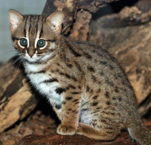 Buy persian cats in sri lanka