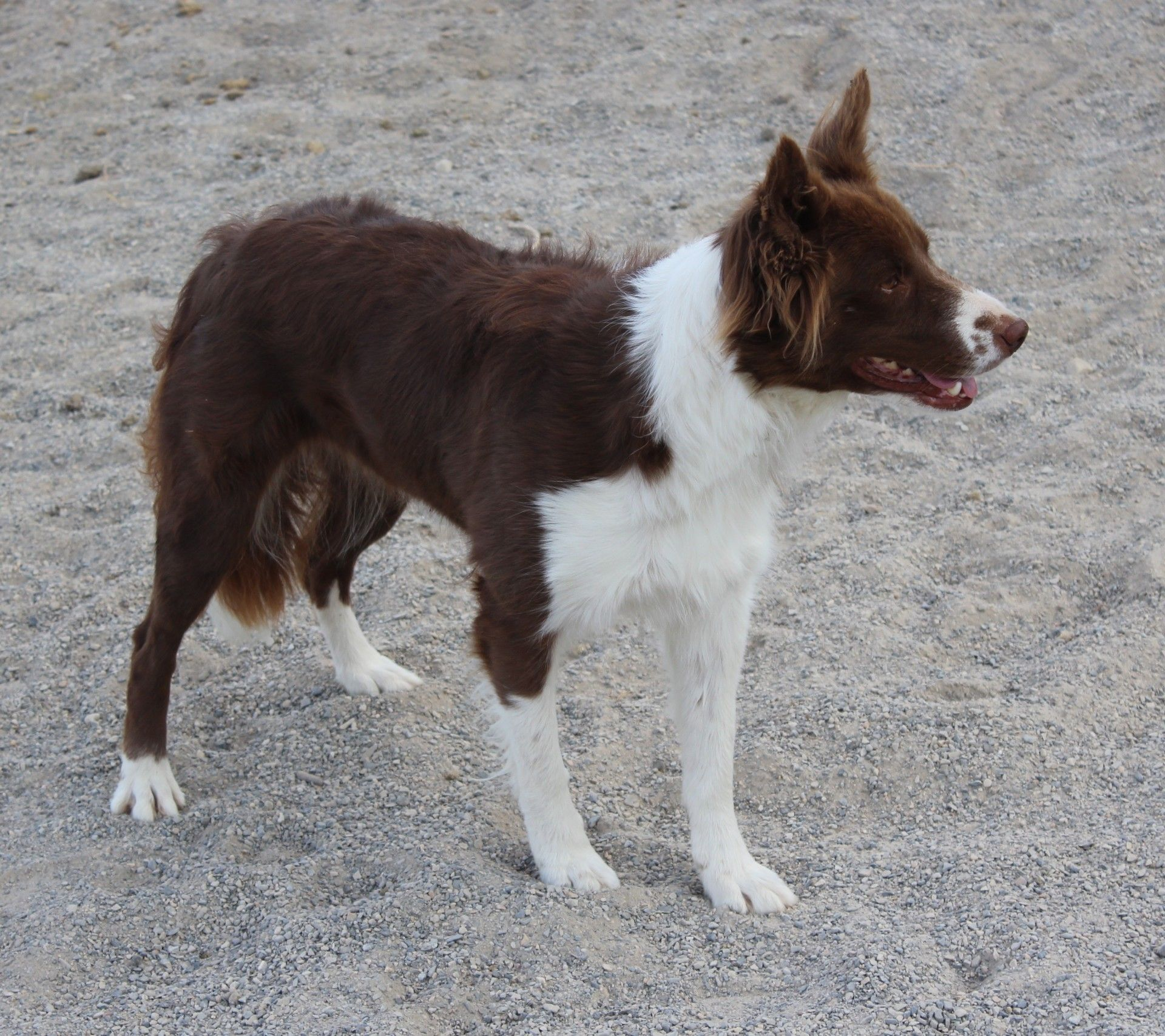 Female Border Collie Cow Dog For Sale For More Information Click