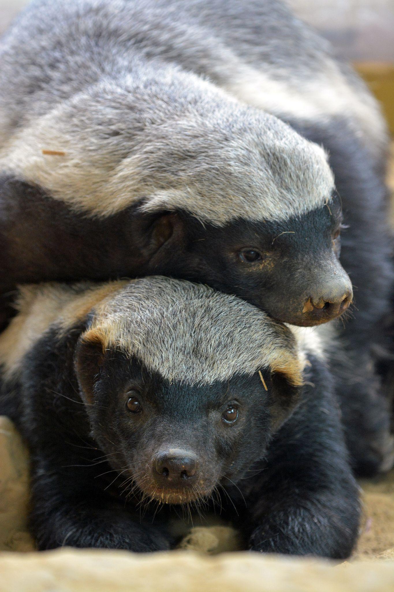Honey Badgers | Extraneous | Honey badger, Animals ...