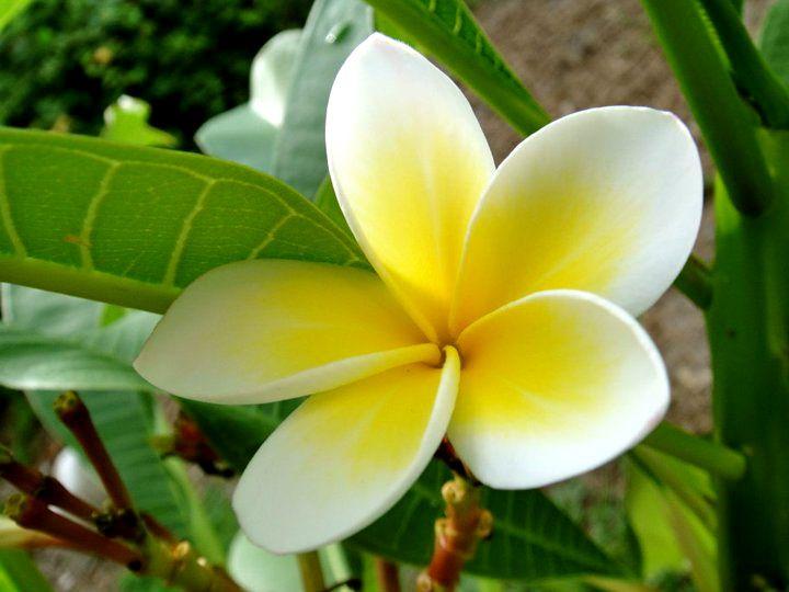 Hawaiian lei flower plant my mom owns hawaiian lei flower
