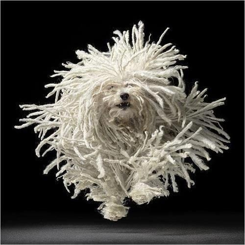 Komondor - The Komondor is a large, white-colored Hungarian breed of livestock guardian dog with a long, corded coat.