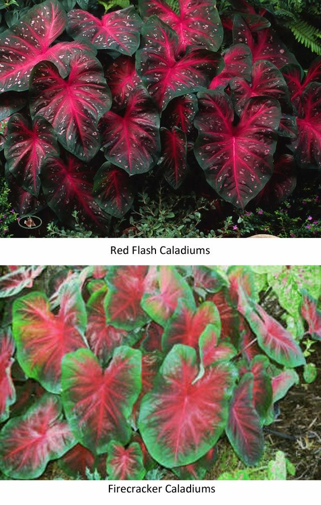 Sun Tolerant Caladiums May Make A Good Companion Plant For