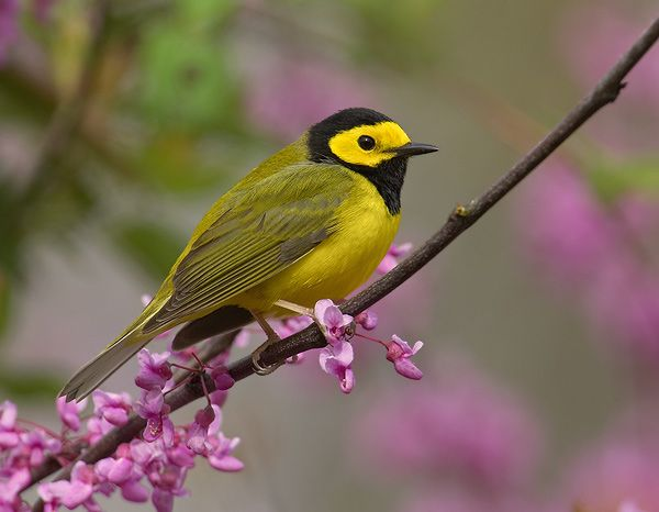 Hooded Warbler Prefers Forests With Some Shrub Understory Eastern Us Pet Birds Most Beautiful Birds Birds