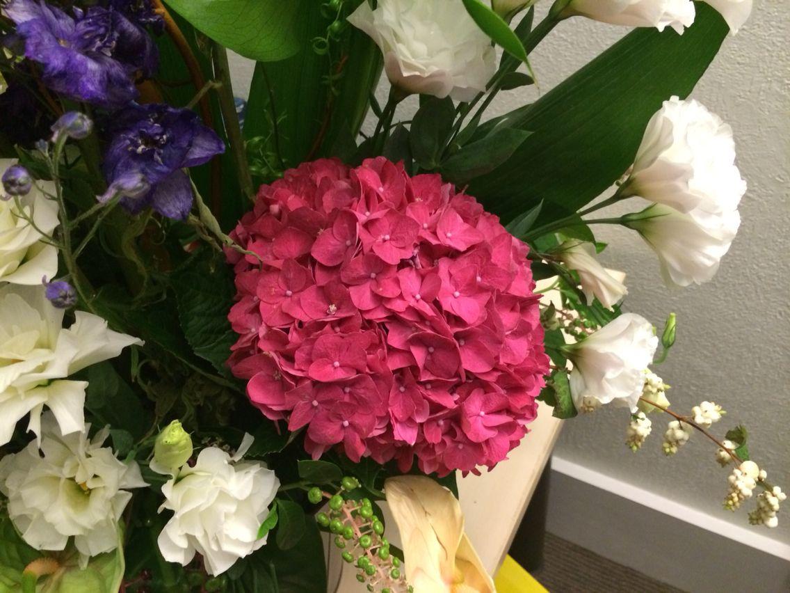 Bel hortensia rose