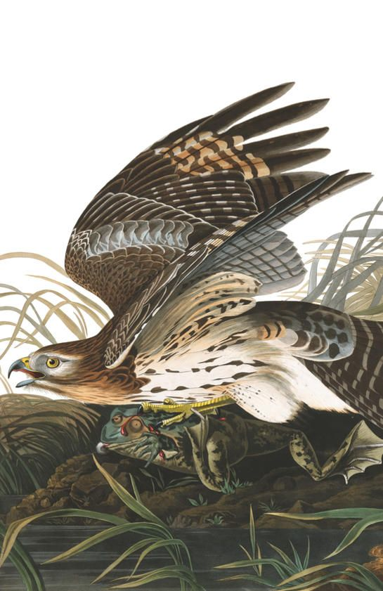 Fine Art Print Birds of America Swainson/'s Hawk Audubon Reproductions