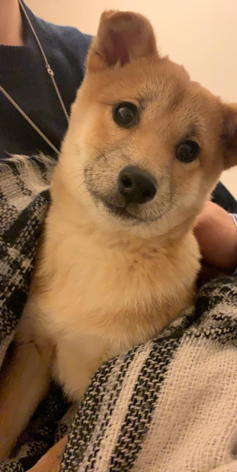 Corgi Shiba Inu Mix Reviewed By Vets 3 Reasons To Avoid Doggypedia In 2020 Shiba Inu Shiba Inu Mix Puppy Breeds