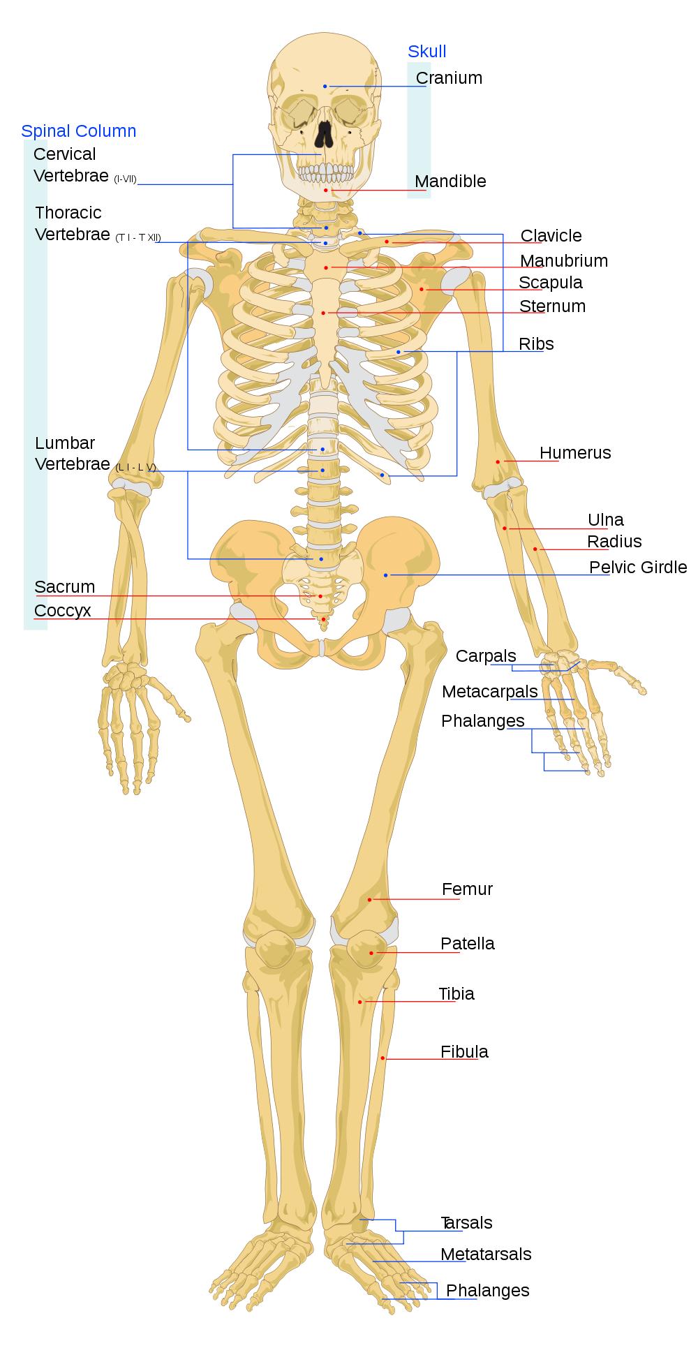 Human Skeletal System Human Skeleton Bones And Functions Of