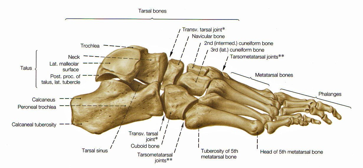 Foot Anatomy Bones Lateral Viewg 1230569 Sports Medicine