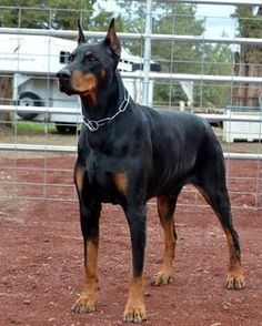 Akc Dobermans For Sale For Family Protection Akc Doberman