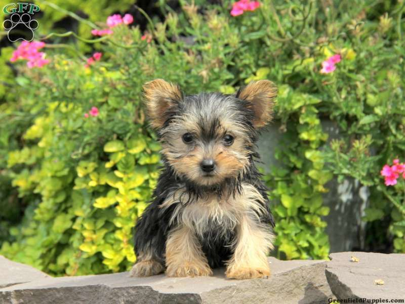 Noel Teacup Yorkie Puppy For Sale In Ephrata Pa Breeder Stephen