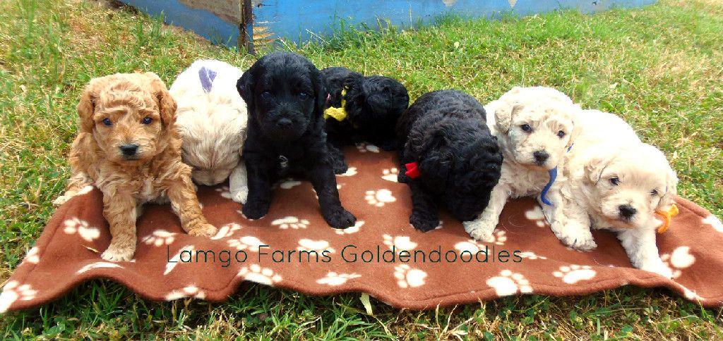 minigoldendoodle nursery at Lamgo Farms Mini