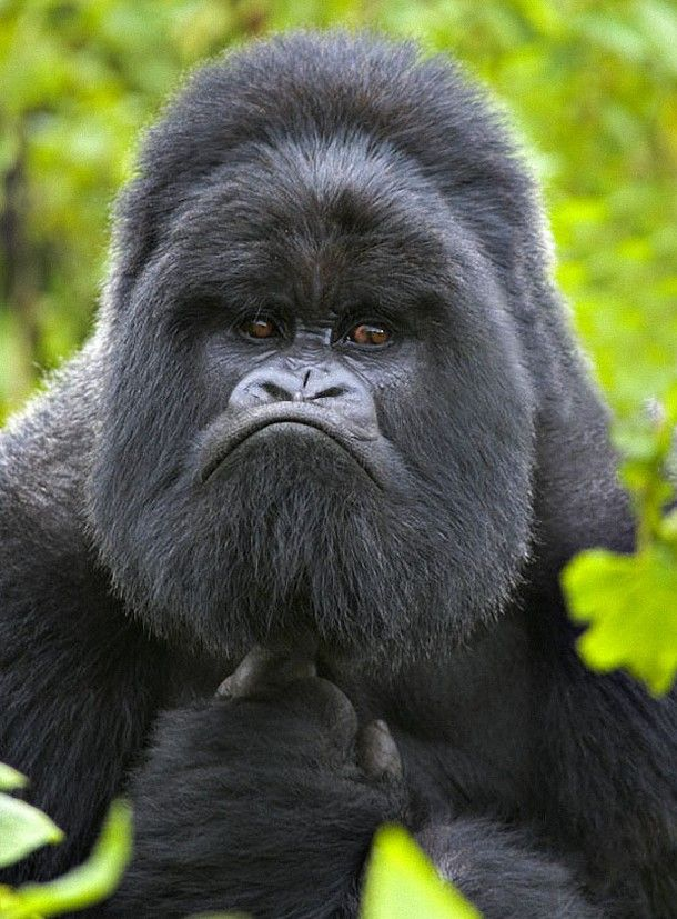 Our Favourite Gorilla Things Ever