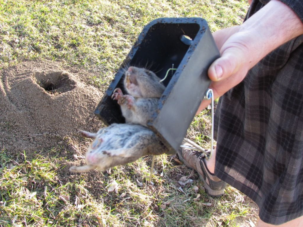 Trapping Pocket Gophers Gopher Traps Wild Game