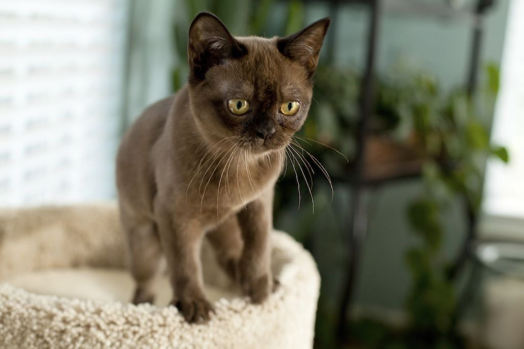 Cat Breeds A Z The Bold Burmese Doglike In Temperament Smart