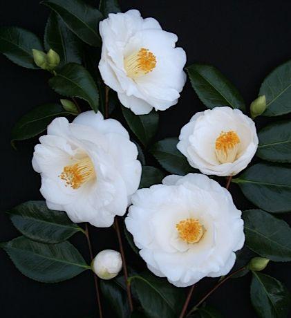 Poyntons Nursery And Garden Centre Plants Camellias Camellia Flower Beautiful Flowers Camellia