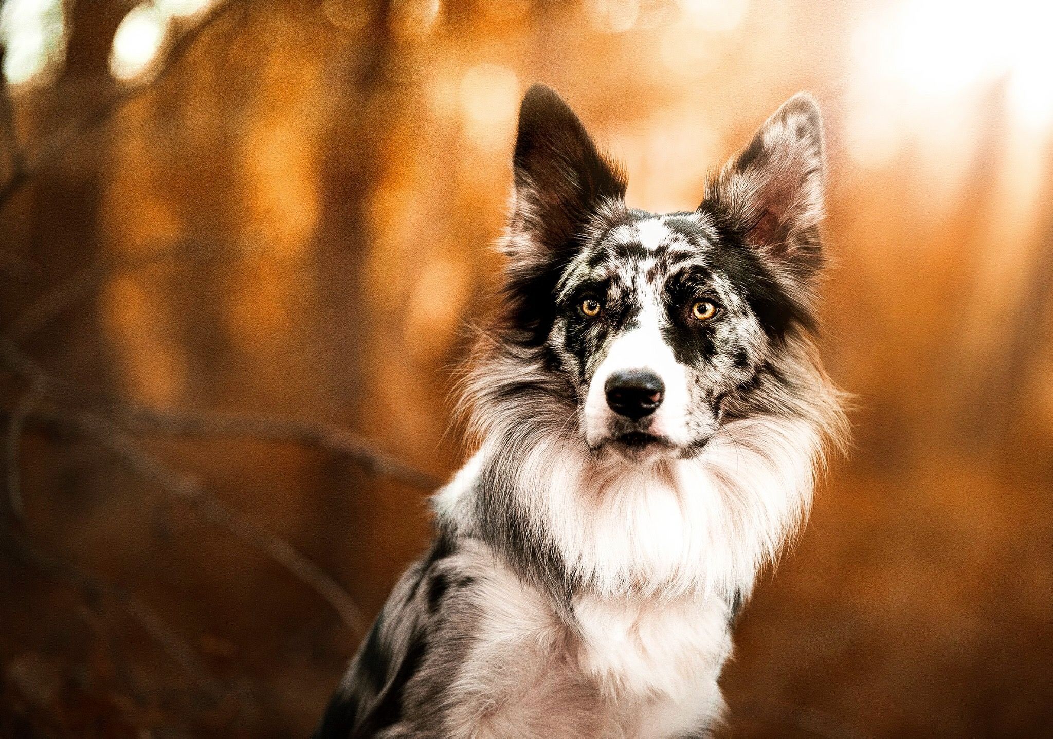 Ego 1 Year Old Blue Merle Border Collie Endeavorsofego On Ig