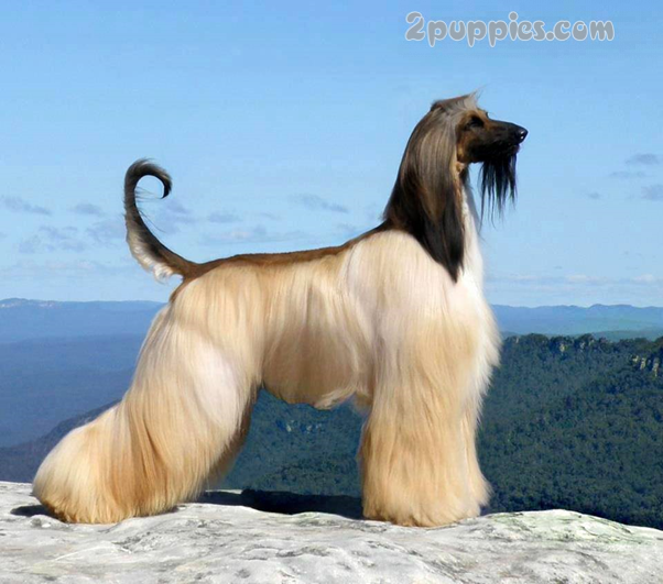 Large Long Haired Dog Breeds 2puppies Com Fluffy Dog Breeds Hound Dog Breeds Fluffy Dogs