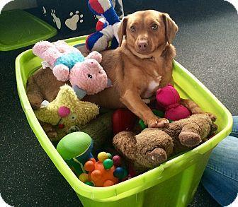 Battle Creek Mi Feist Beagle Mix Meet Cleo A Dog For Adoption