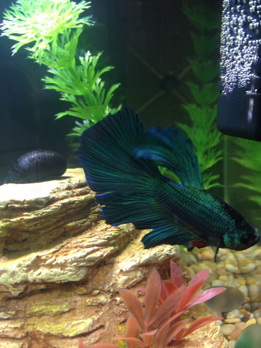 Petsmart Betta Fish Mordecai Betta Fish Betta Fish Pet