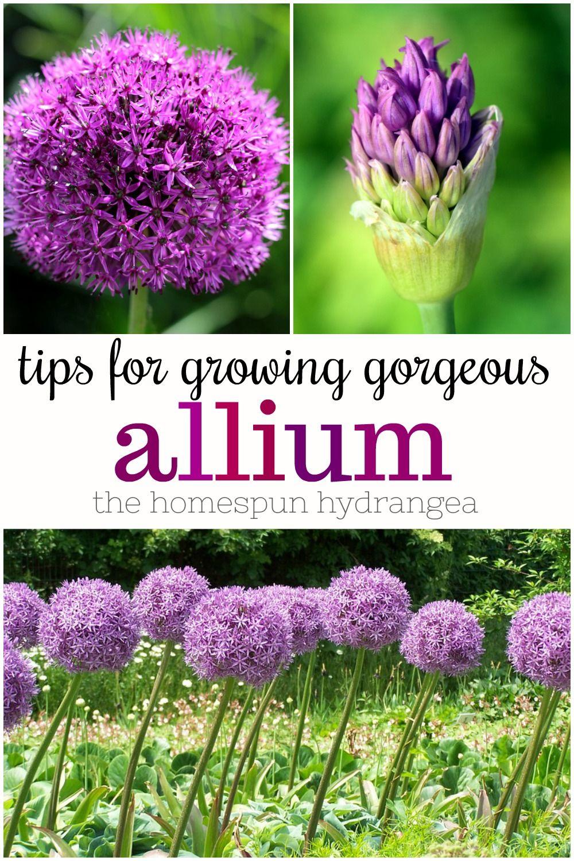How To Grow Allium In Your Garden The Homespun Hydrangea In 2020 Allium Flowers Garden Bulbs Allium
