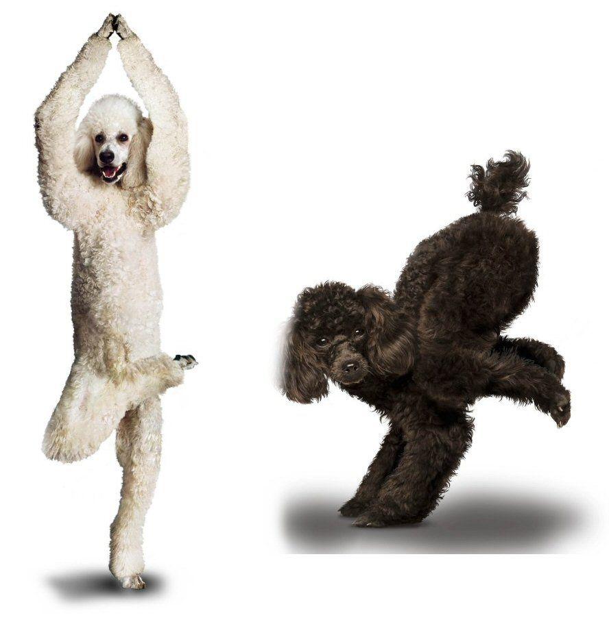 Yoga poodles poodles pinterest poodle dogs and pets
