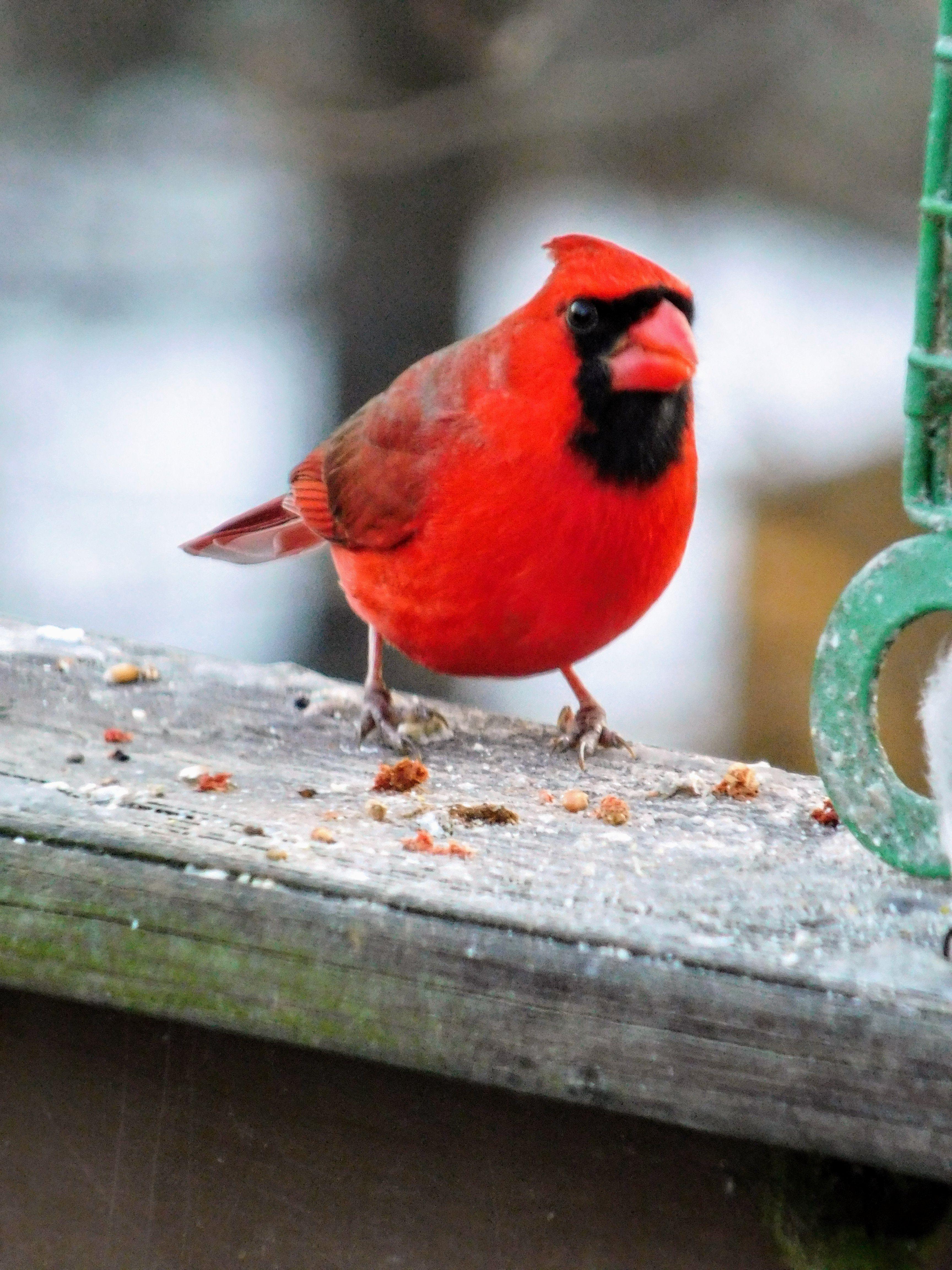 Male Winter Cardinal in N.J., USA photo by s.dorman