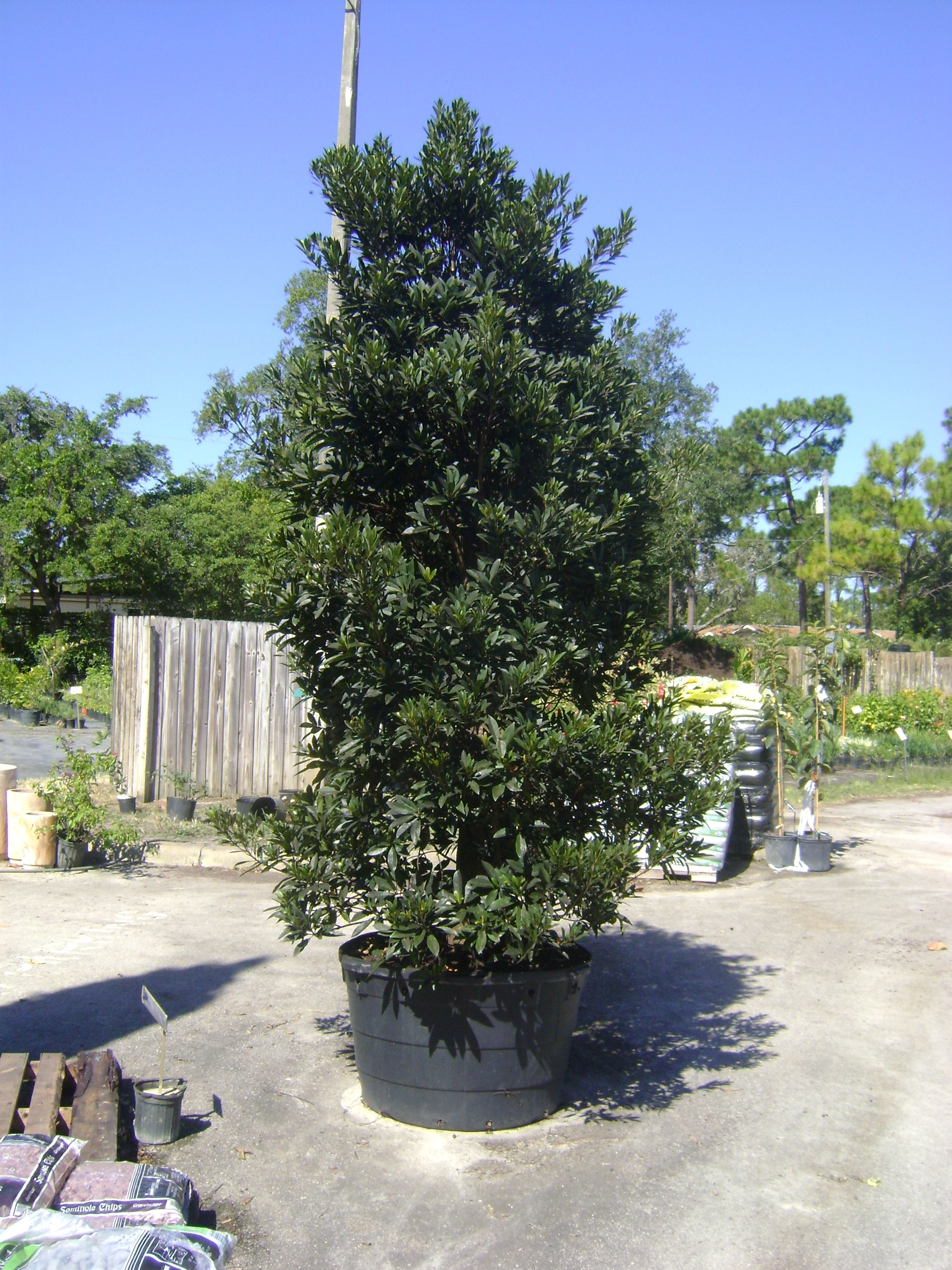 Japanese Blueberry Evergreen, Can Be Pruned To Tree Shape Bronze New