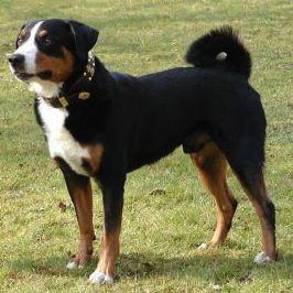 Casar Von Appenzell Pedigree Database Appenzeller Sennenhund
