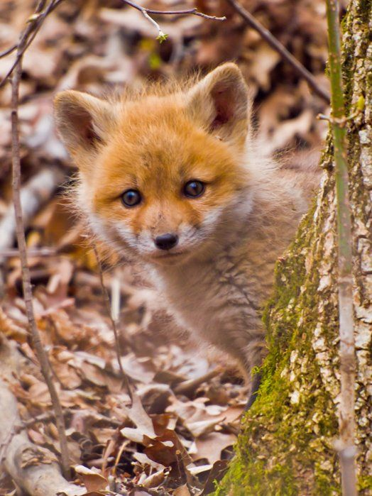 Red Fox Cub by David Perez on Capture Minnesota