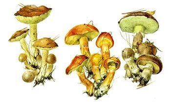 гриб масленок раскраска. | Раскраски, Грибы, Картинки