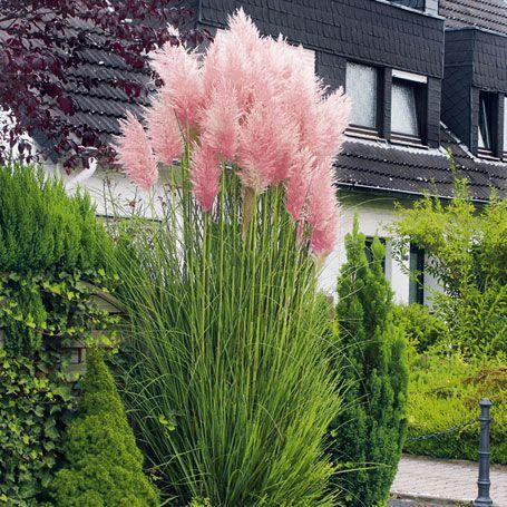 rosa pampasgras - frühjahrs-rabatt-aktion | blätter, gräser, Garten Ideen